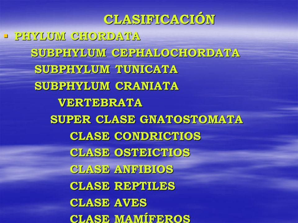 CLASIFICACIÓN PHYLUM CHORDATA SUBPHYLUM CEPHALOCHORDATA