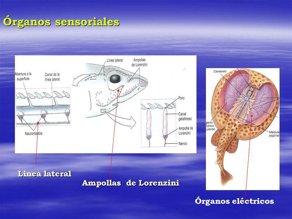 Órganos sensoriales Linea lateral Ampollas de Lorenzini