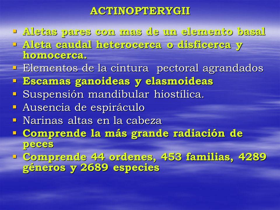 ACTINOPTERYGII Aletas pares con mas de un elemento basal. Aleta caudal heterocerca o disficerca y homocerca.