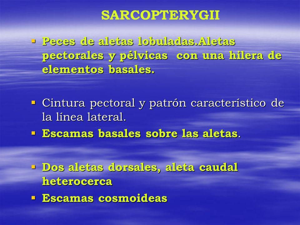 SARCOPTERYGII Peces de aletas lobuladas.Aletas pectorales y pélvicas con una hilera de elementos basales.