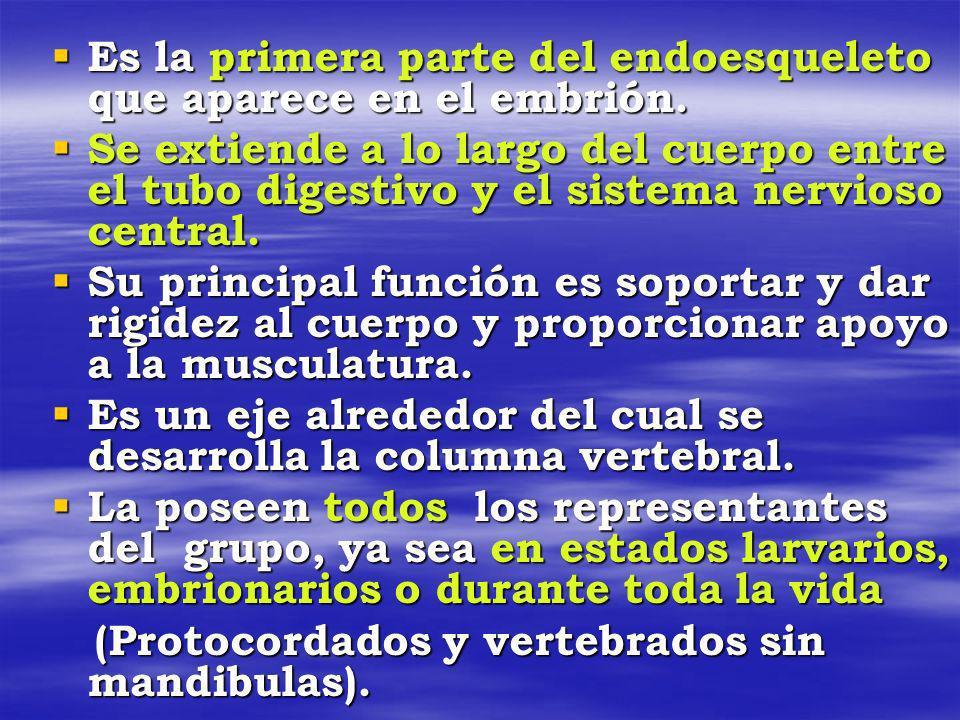 Es la primera parte del endoesqueleto que aparece en el embrión.