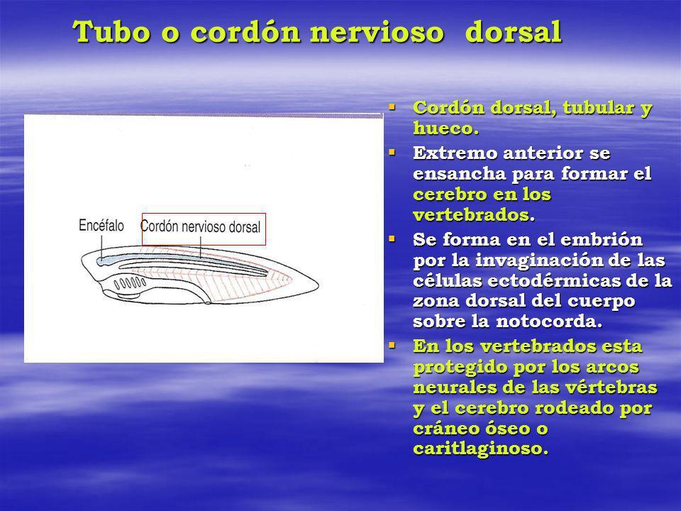 Tubo o cordón nervioso dorsal