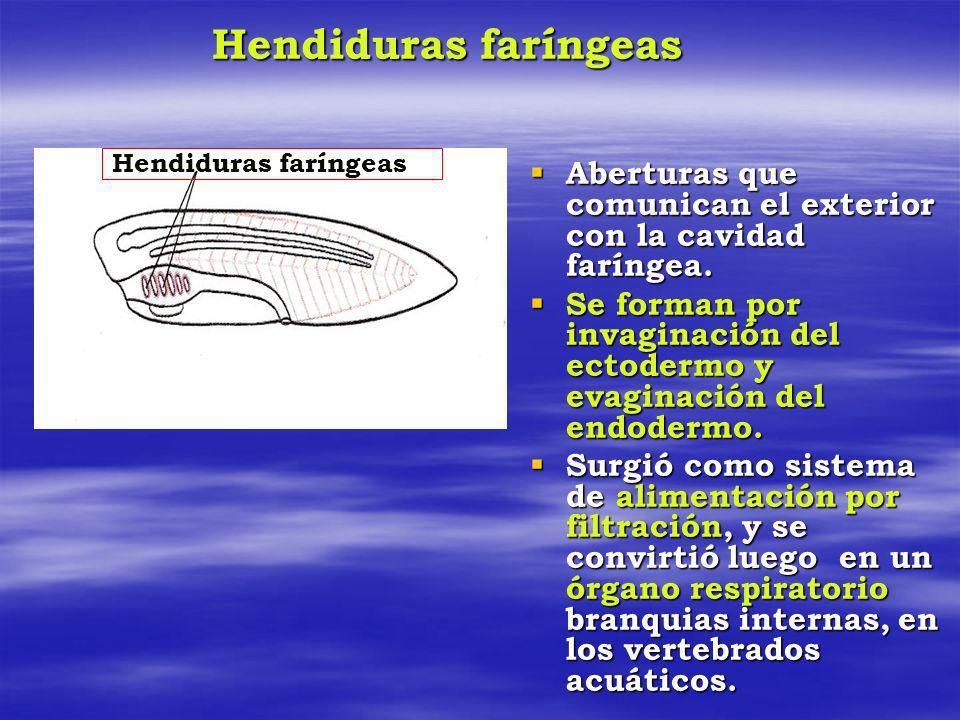Hendiduras faríngeas Hendiduras faríngeas. Aberturas que comunican el exterior con la cavidad faríngea.