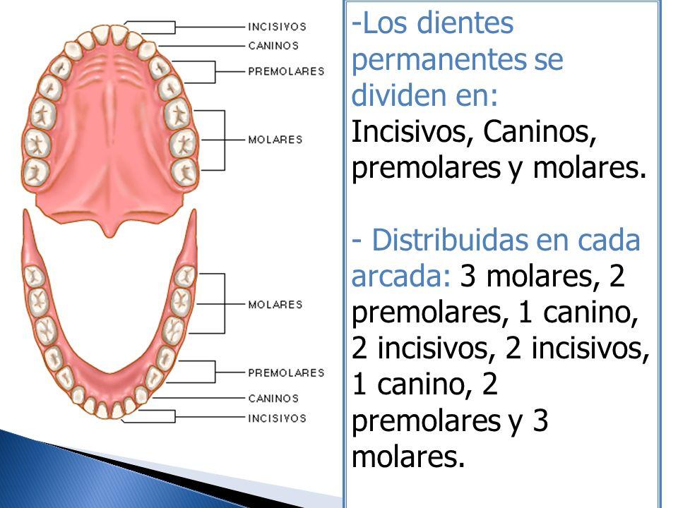 Los dientes permanentes se dividen en: