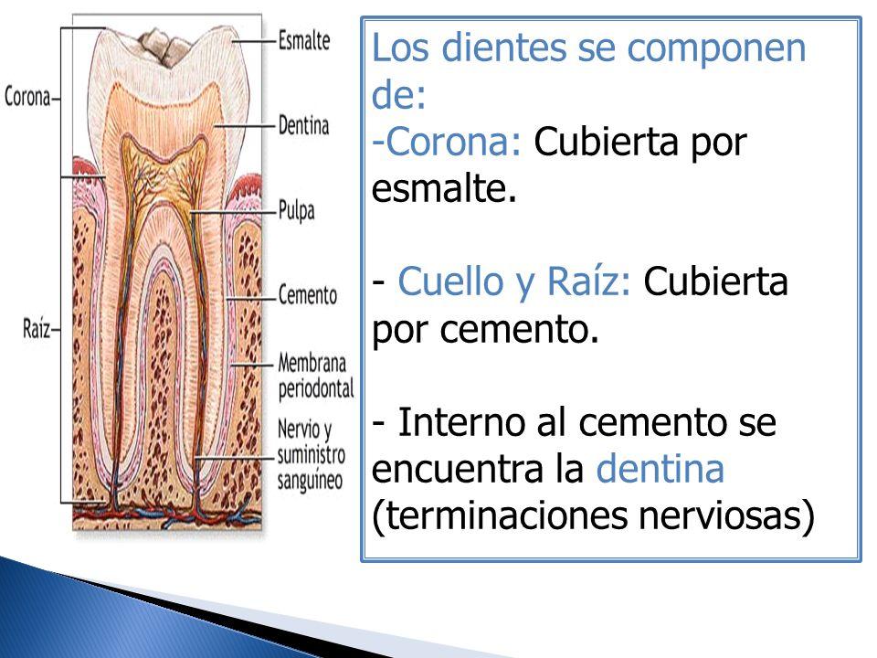Los dientes se componen de:
