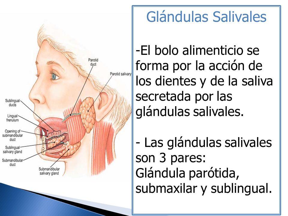 Glándulas Salivales El bolo alimenticio se forma por la acción de los dientes y de la saliva secretada por las glándulas salivales.