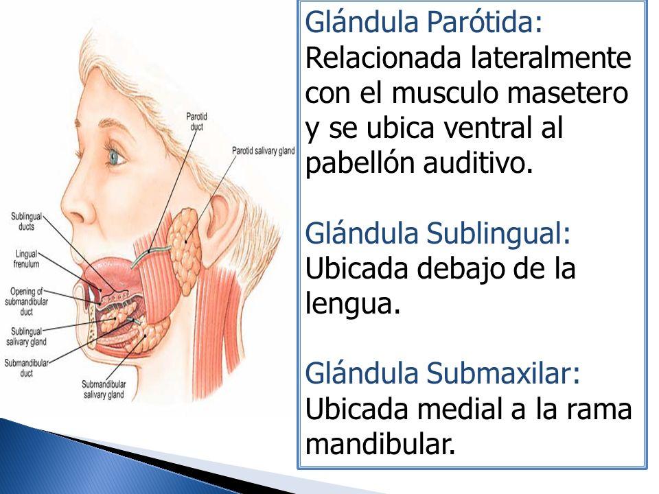 Glándula Parótida: Relacionada lateralmente con el musculo masetero y se ubica ventral al pabellón auditivo.