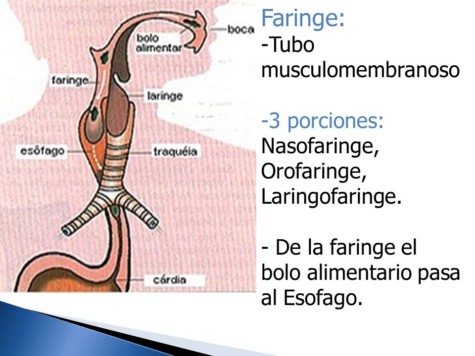 Faringe: Tubo musculomembranoso