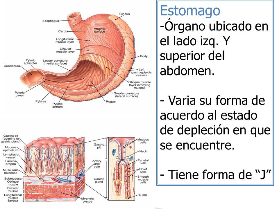 Estomago Órgano ubicado en el lado izq. Y superior del abdomen.