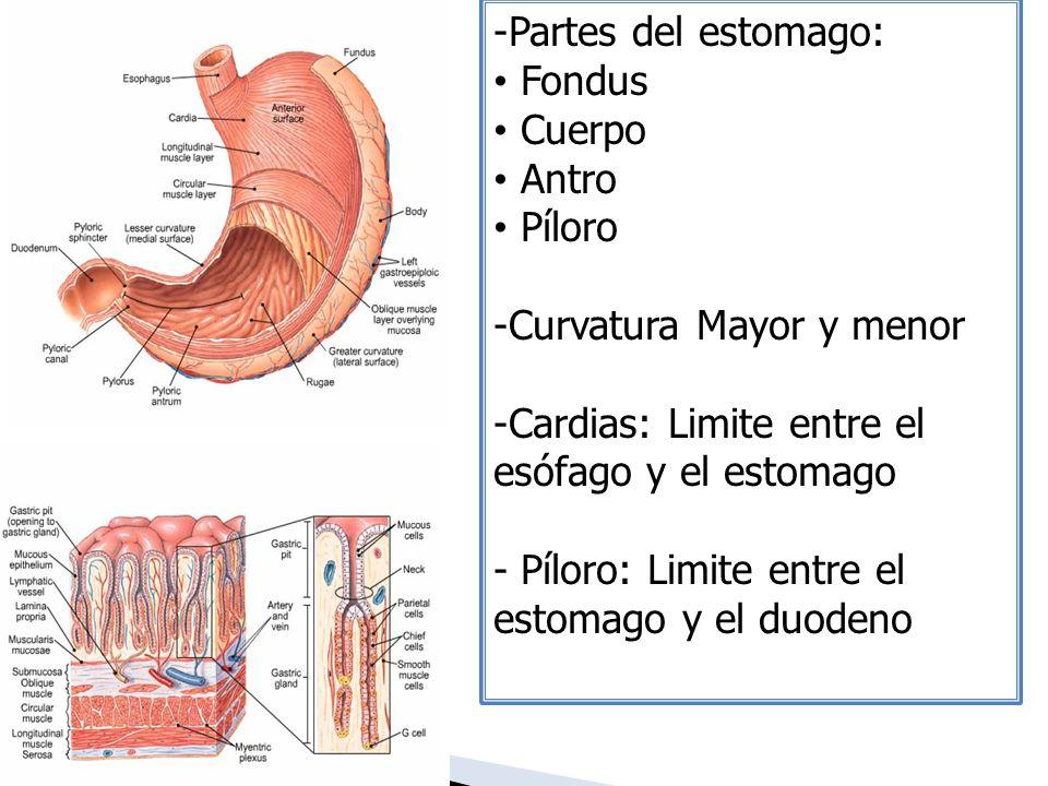 Partes del estomago: Fondus. Cuerpo. Antro. Píloro. Curvatura Mayor y menor. Cardias: Limite entre el esófago y el estomago.