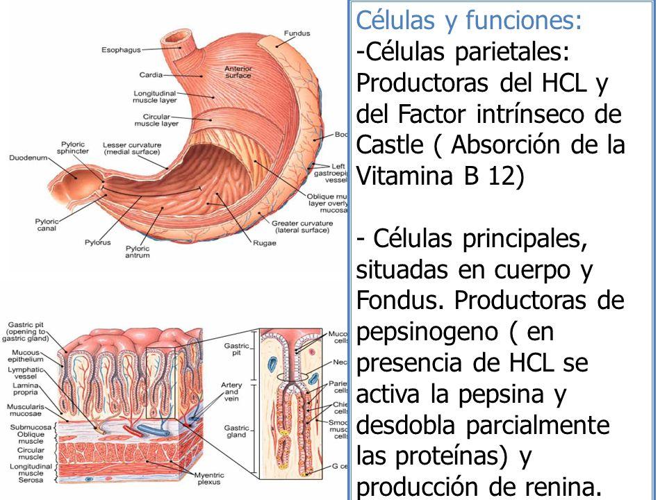 Células y funciones: Células parietales: Productoras del HCL y del Factor intrínseco de Castle ( Absorción de la Vitamina B 12)