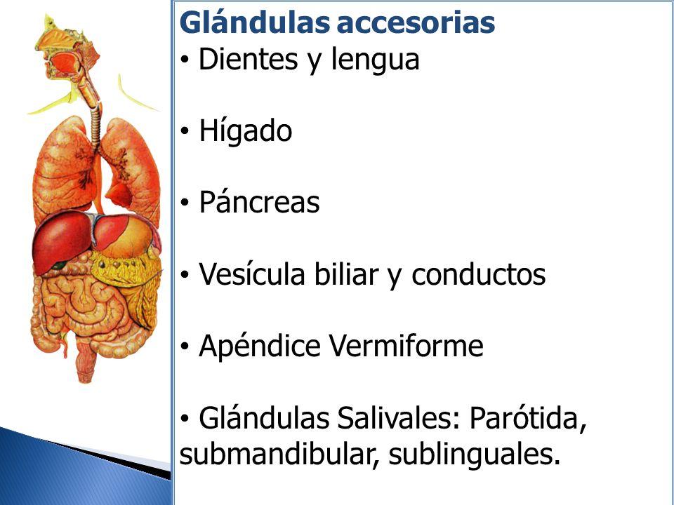 Glándulas accesorias Dientes y lengua. Hígado. Páncreas. Vesícula biliar y conductos. Apéndice Vermiforme.