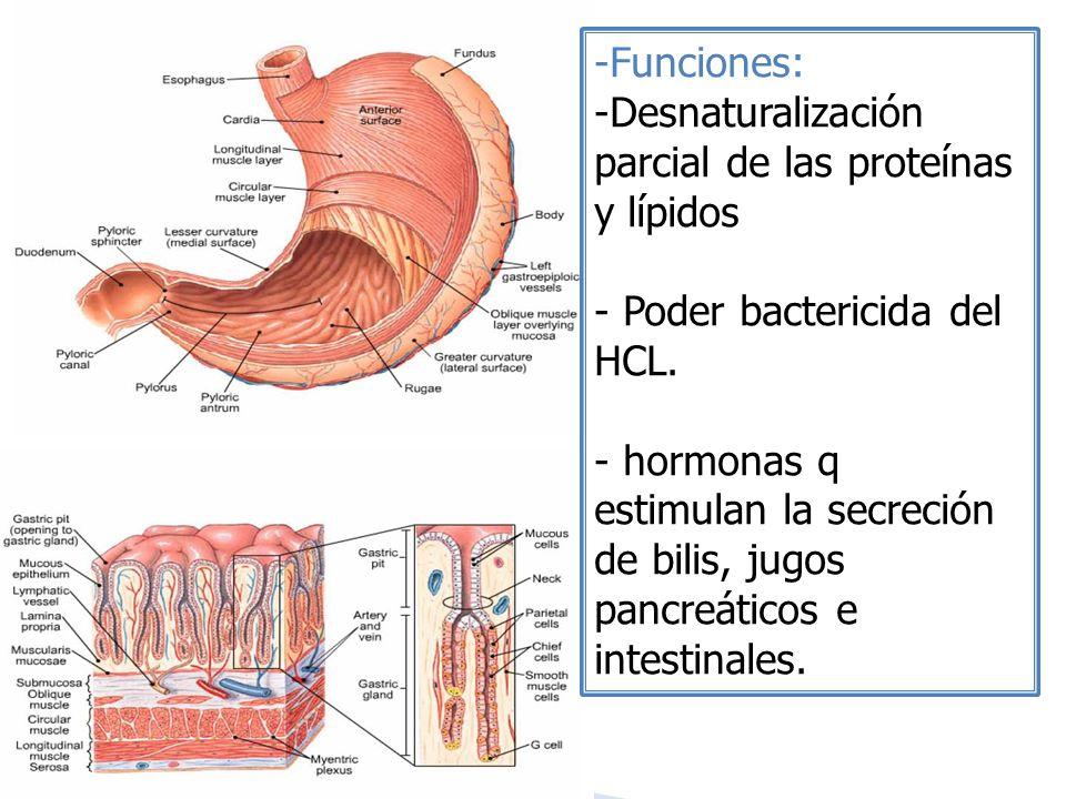 Funciones: Desnaturalización parcial de las proteínas y lípidos. Poder bactericida del HCL.