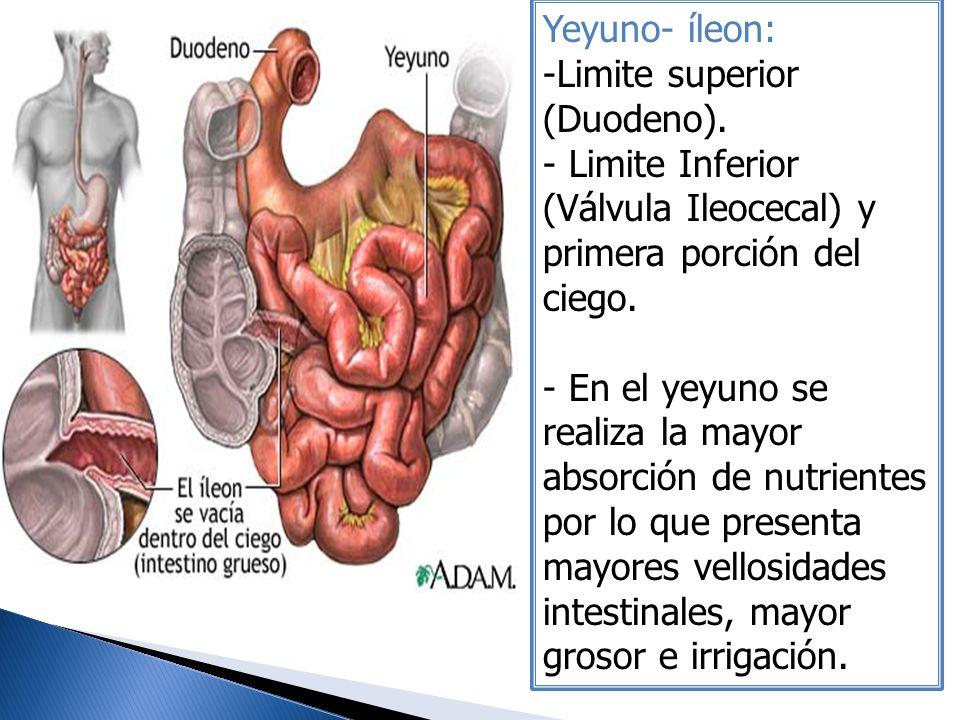 Yeyuno- íleon: Limite superior (Duodeno). Limite Inferior (Válvula Ileocecal) y primera porción del ciego.