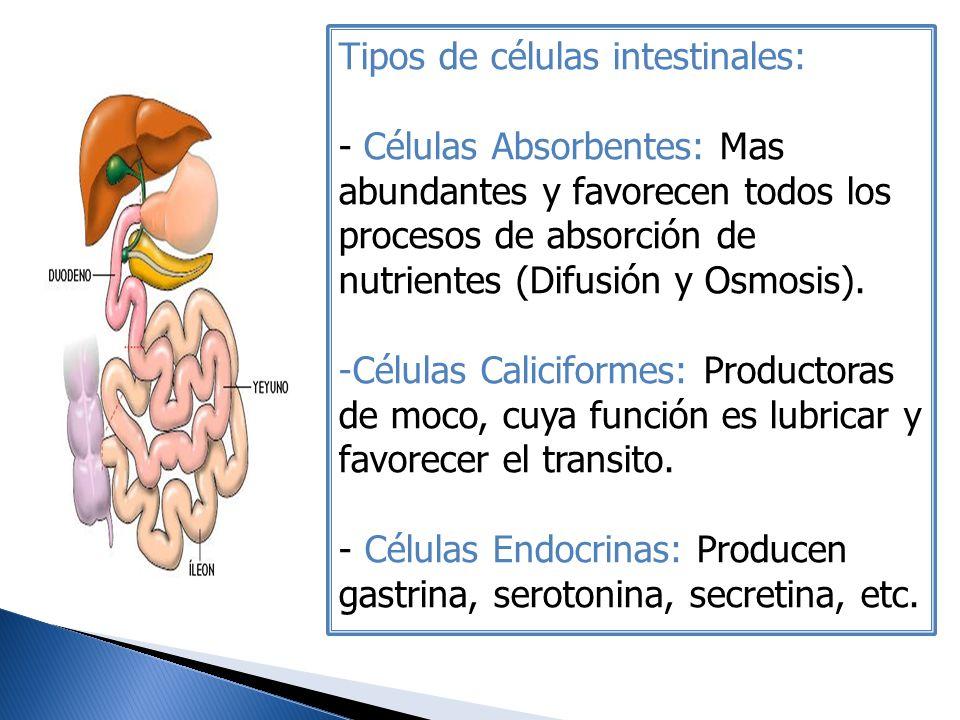 Tipos de células intestinales: