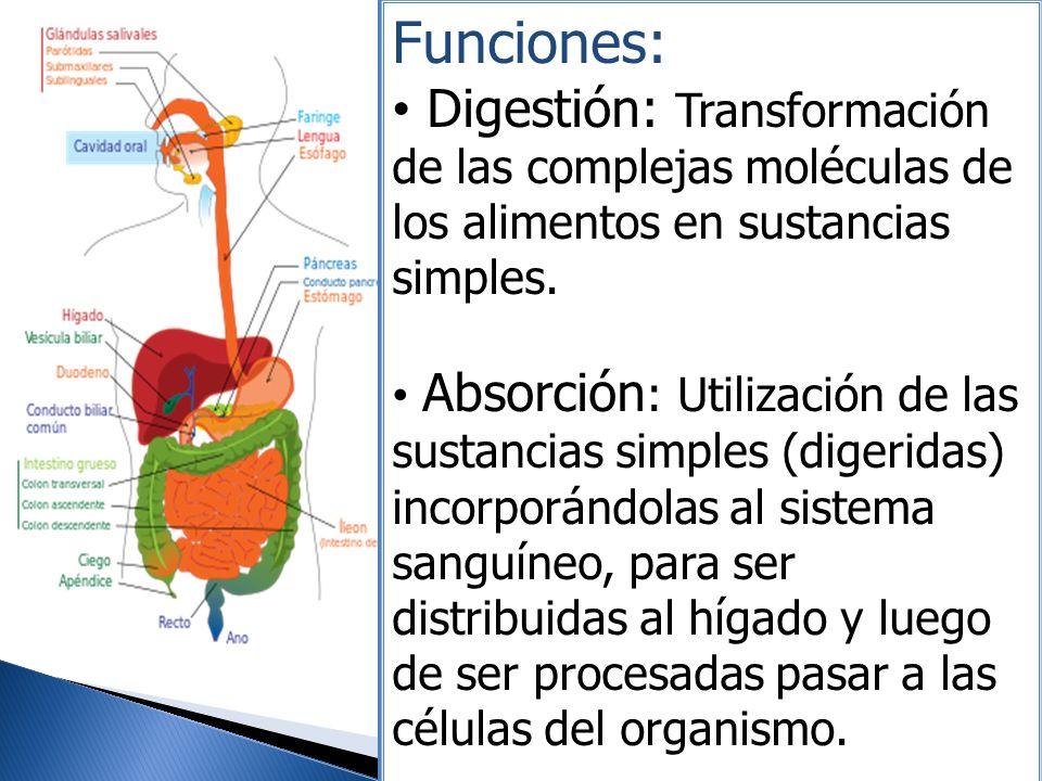 Funciones: Digestión: Transformación de las complejas moléculas de los alimentos en sustancias simples.