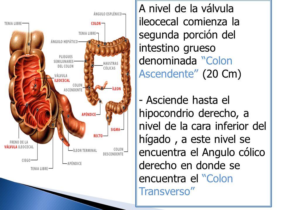 A nivel de la válvula ileocecal comienza la segunda porción del intestino grueso denominada Colon Ascendente (20 Cm)