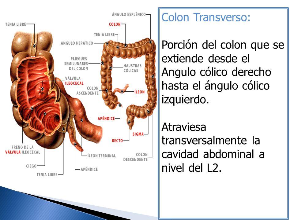 Colon Transverso: Porción del colon que se extiende desde el Angulo cólico derecho hasta el ángulo cólico izquierdo.