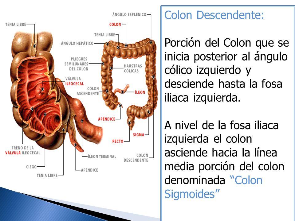 Colon Descendente: Porción del Colon que se inicia posterior al ángulo cólico izquierdo y desciende hasta la fosa iliaca izquierda.