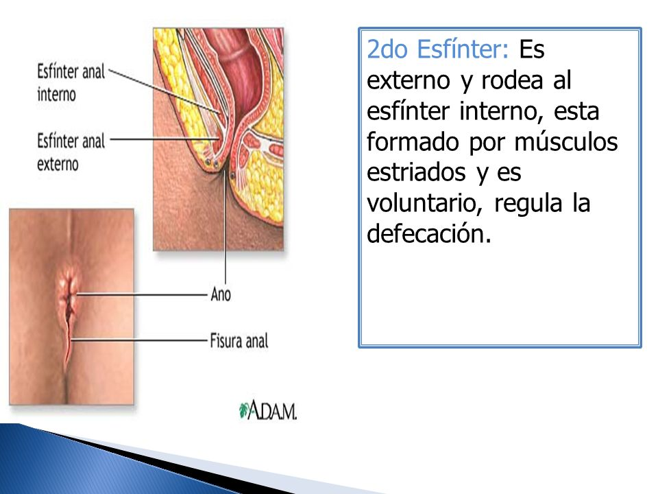 2do Esfínter: Es externo y rodea al esfínter interno, esta formado por músculos estriados y es voluntario, regula la defecación.
