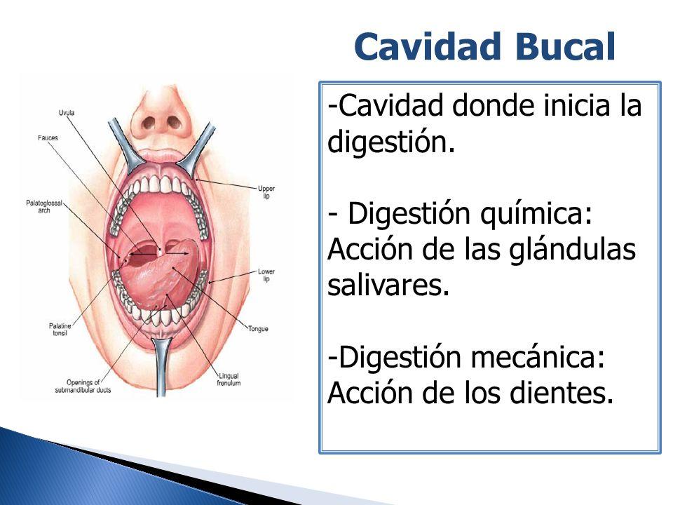 Cavidad Bucal Cavidad donde inicia la digestión. Digestión química: