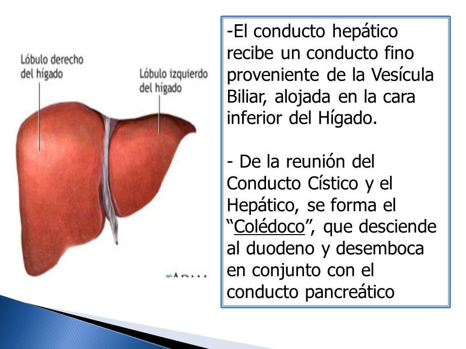 El conducto hepático recibe un conducto fino proveniente de la Vesícula Biliar, alojada en la cara inferior del Hígado.