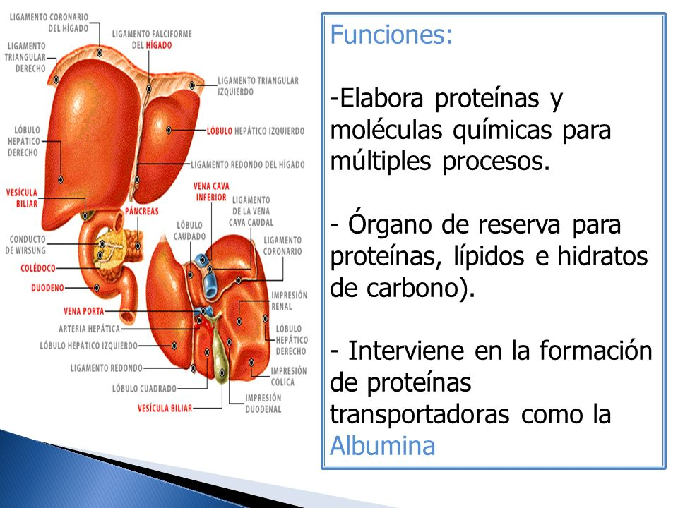 Funciones: Elabora proteínas y moléculas químicas para múltiples procesos. Órgano de reserva para proteínas, lípidos e hidratos de carbono).