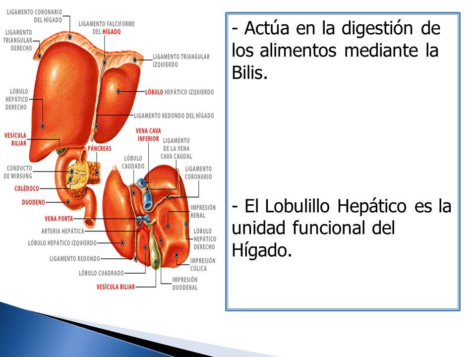 Actúa en la digestión de los alimentos mediante la Bilis.