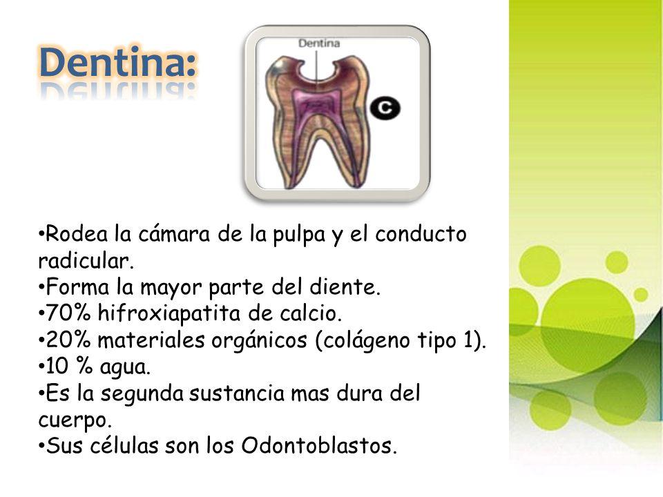 Dentina: Rodea la cámara de la pulpa y el conducto radicular.
