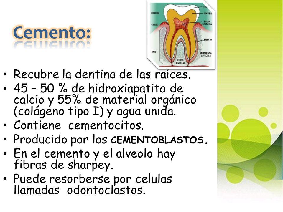Cemento: Recubre la dentina de las raíces.