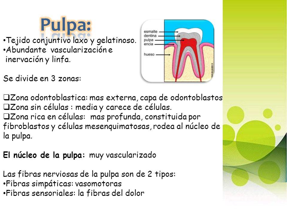 Pulpa: Tejido conjuntivo laxo y gelatinoso.