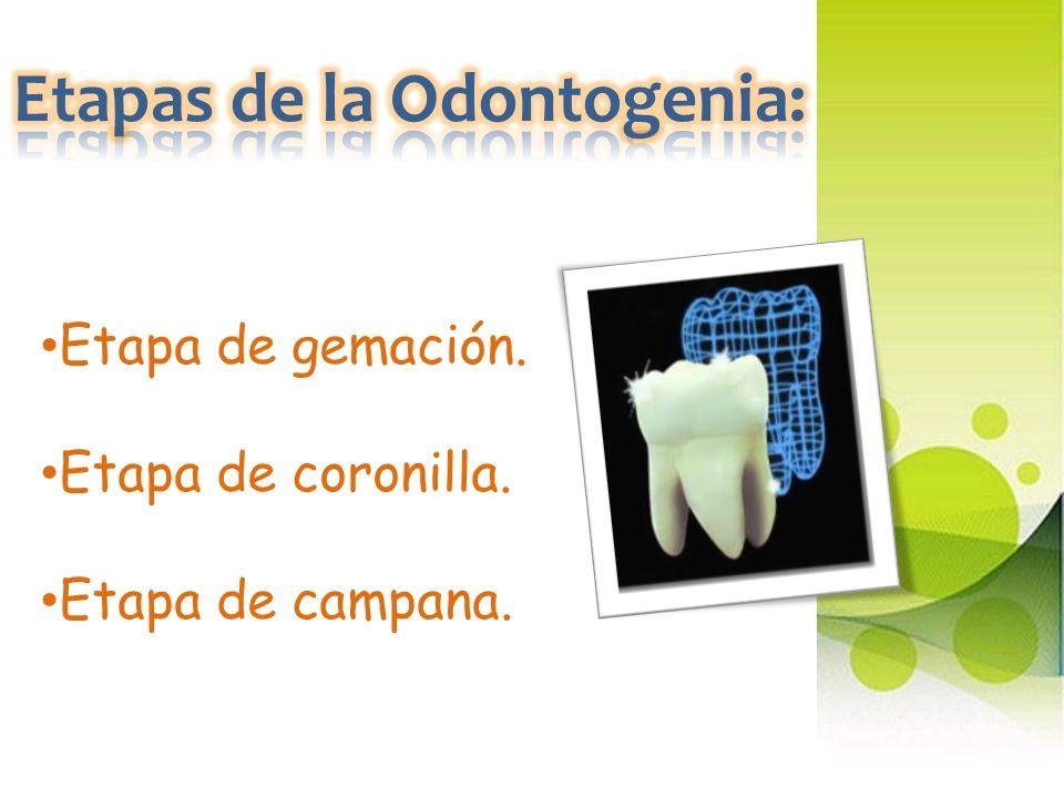 Etapas de la Odontogenia: