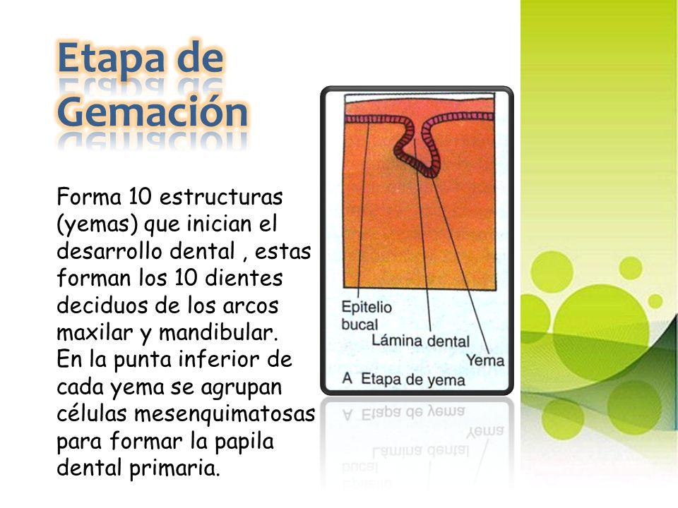Etapa de Gemación Forma 10 estructuras (yemas) que inician el desarrollo dental , estas forman los 10 dientes deciduos de los arcos maxilar y mandibular.
