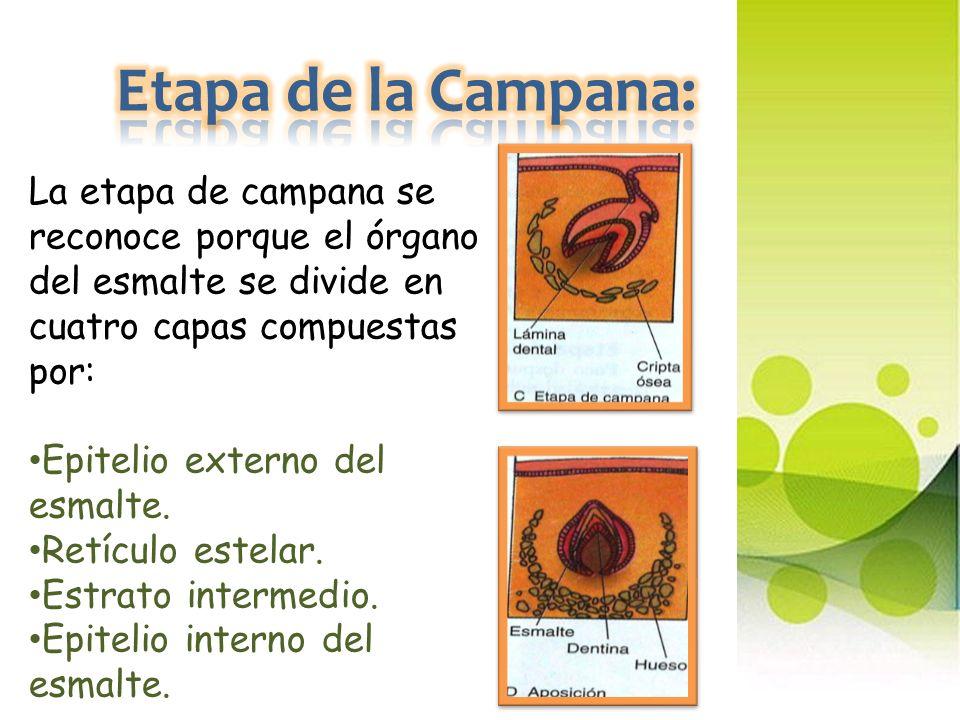 Etapa de la Campana: La etapa de campana se reconoce porque el órgano del esmalte se divide en cuatro capas compuestas por: