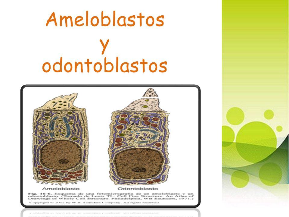 Ameloblastos y odontoblastos
