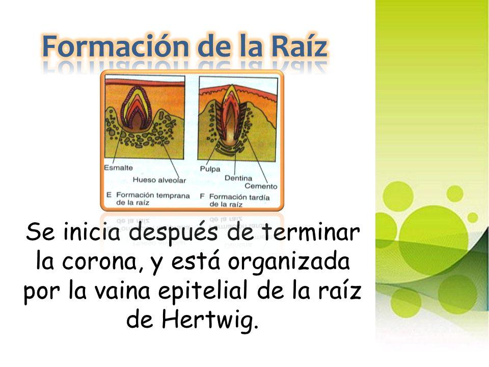 Formación de la Raíz Se inicia después de terminar la corona, y está organizada por la vaina epitelial de la raíz de Hertwig.