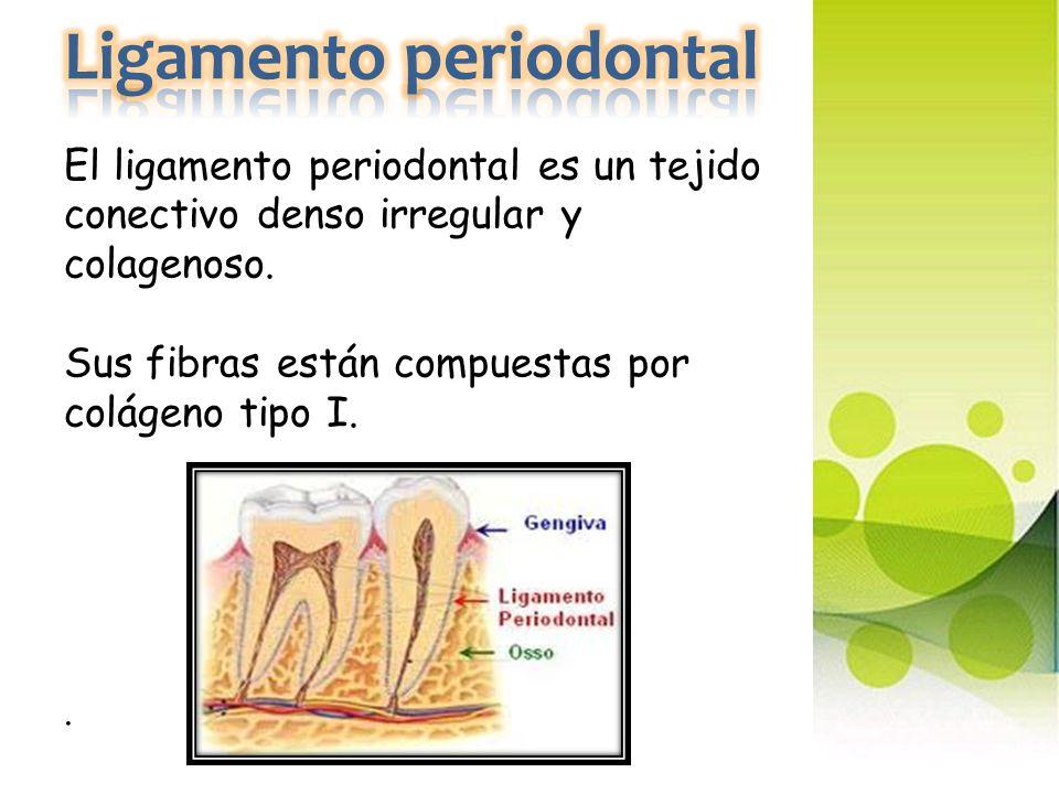 Ligamento periodontal El ligamento periodontal es un tejido conectivo denso irregular y colagenoso.