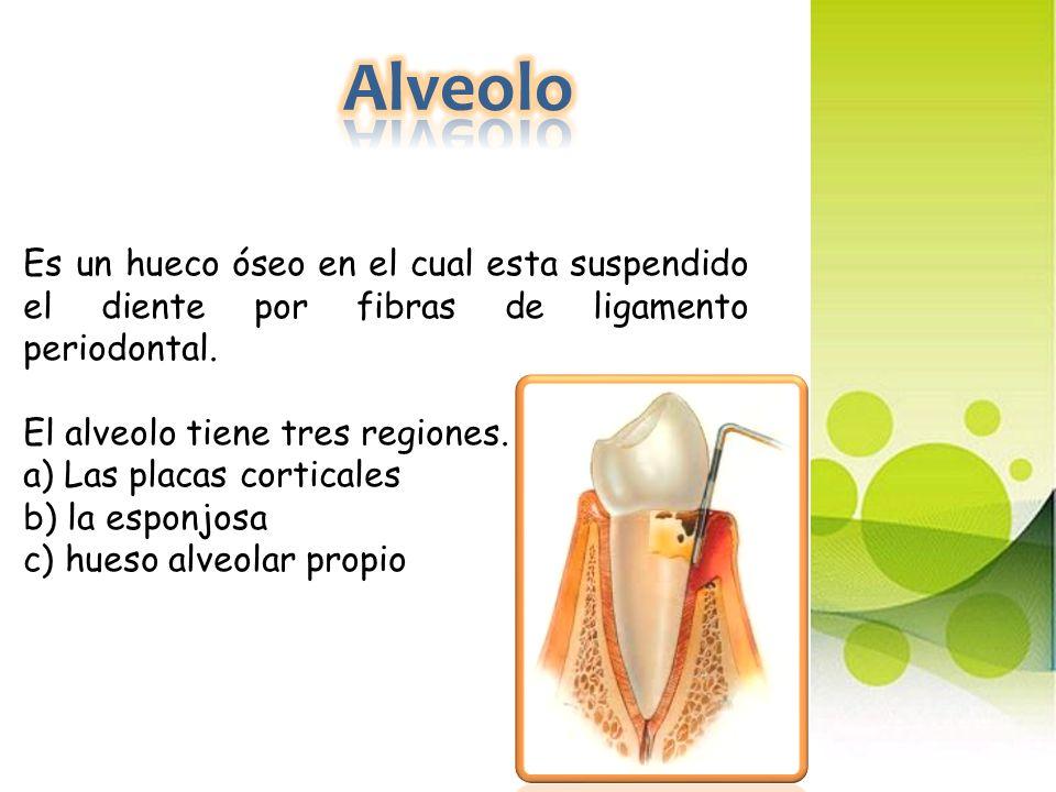 Alveolo Es un hueco óseo en el cual esta suspendido el diente por fibras de ligamento periodontal. El alveolo tiene tres regiones.