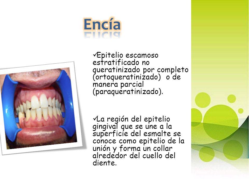 Encía Epitelio escamoso estratificado no queratinizado por completo (ortoqueratinizado) o de manera parcial (paraqueratinizado).