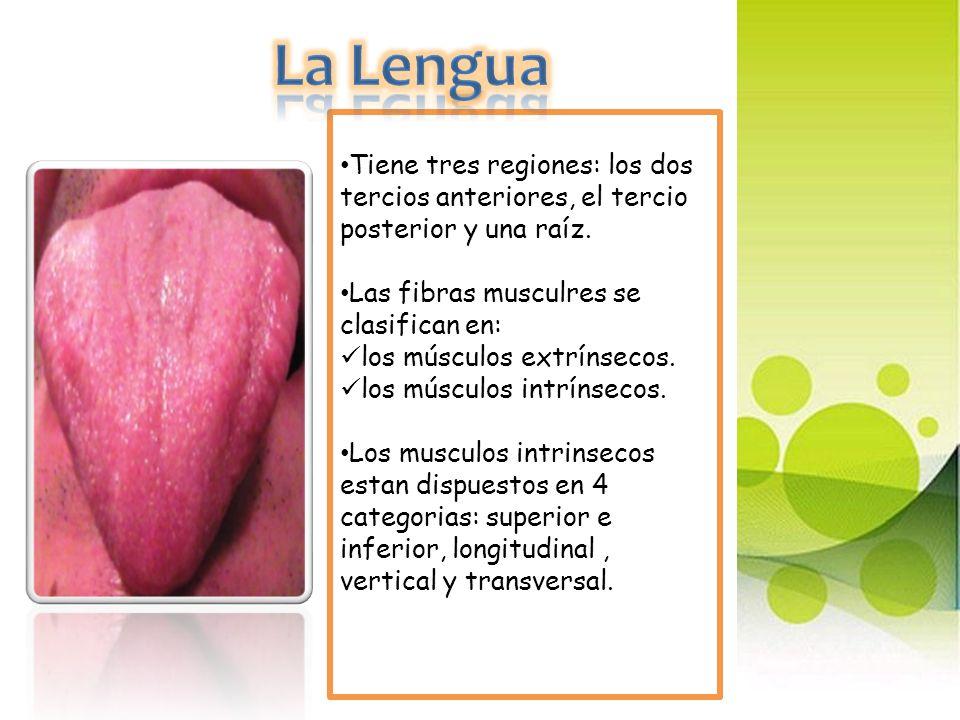 La Lengua Tiene tres regiones: los dos tercios anteriores, el tercio posterior y una raíz. Las fibras musculres se clasifican en: