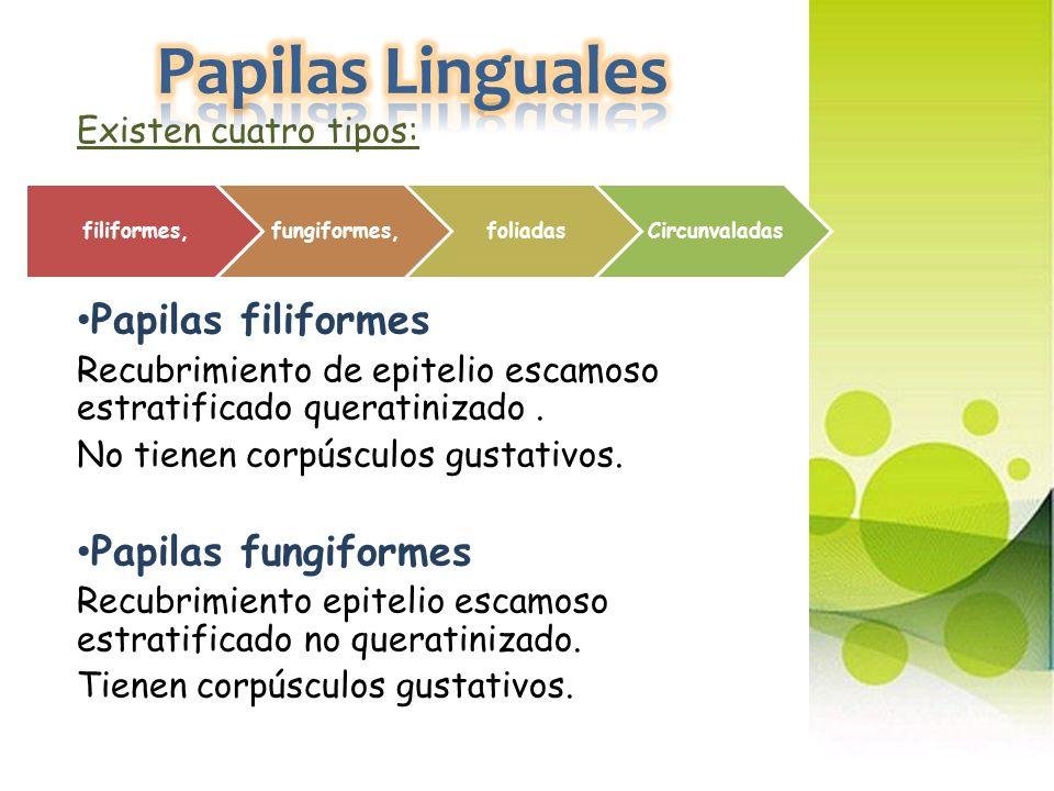 Papilas Linguales Papilas filiformes Papilas fungiformes