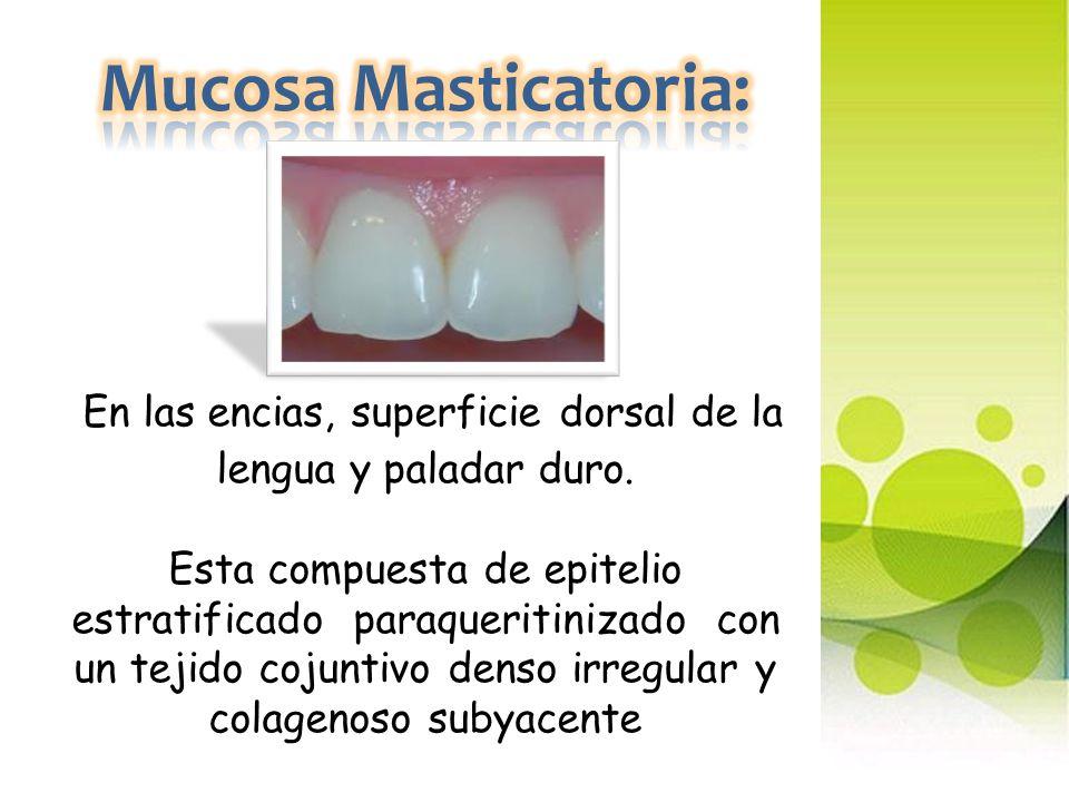 Mucosa Masticatoria: En las encias, superficie dorsal de la lengua y paladar duro.