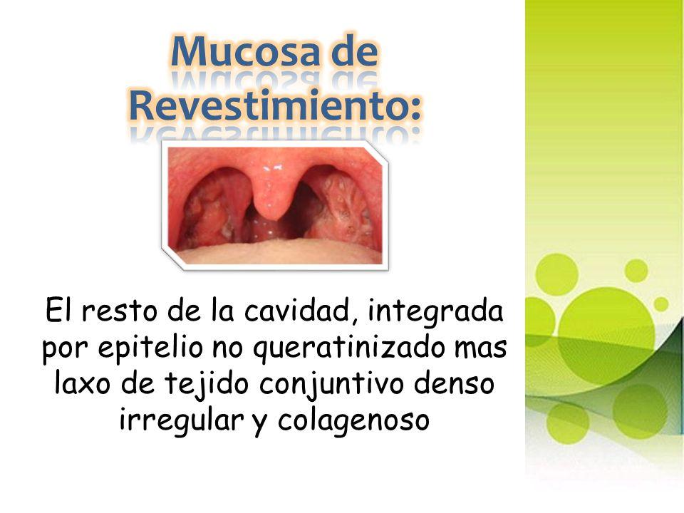 Mucosa de Revestimiento: El resto de la cavidad, integrada por epitelio no queratinizado mas laxo de tejido conjuntivo denso irregular y colagenoso