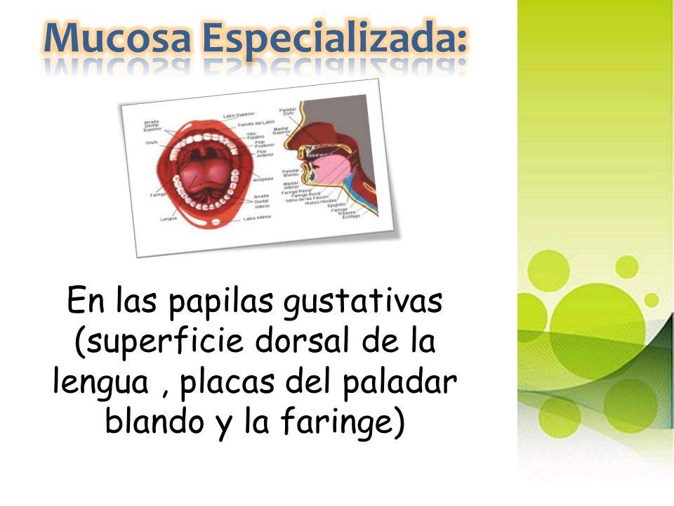 Mucosa Especializada: En las papilas gustativas (superficie dorsal de la lengua , placas del paladar blando y la faringe)
