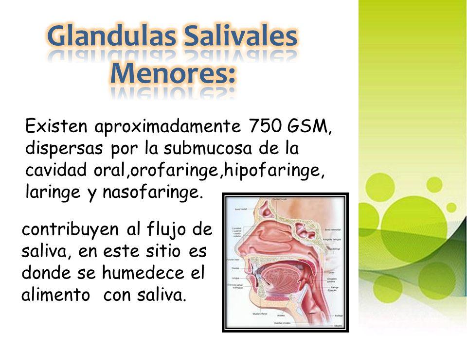 Glandulas Salivales Menores: