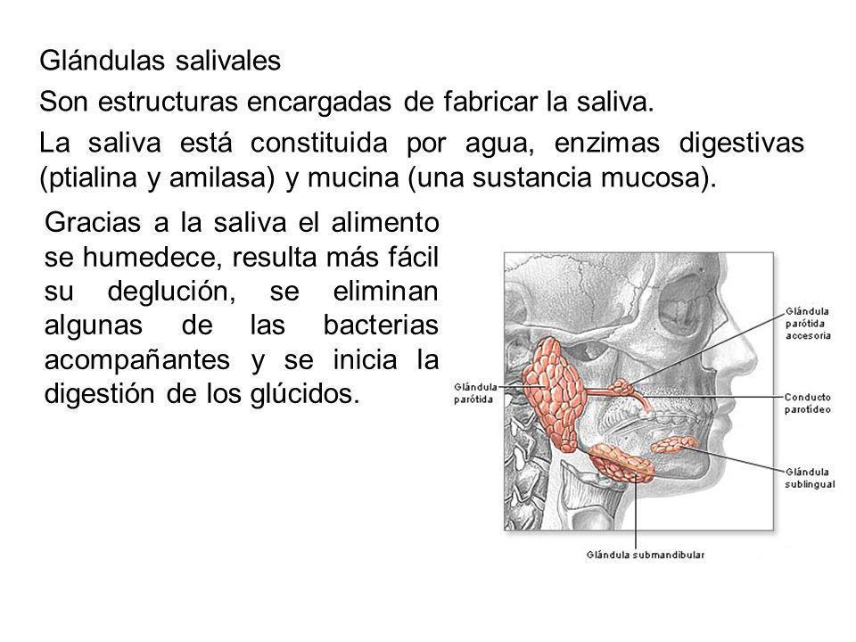 Glándulas salivales Son estructuras encargadas de fabricar la saliva.