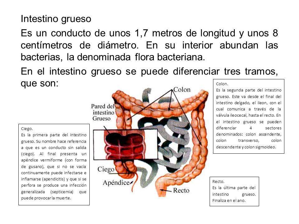 En el intestino grueso se puede diferenciar tres tramos, que son: