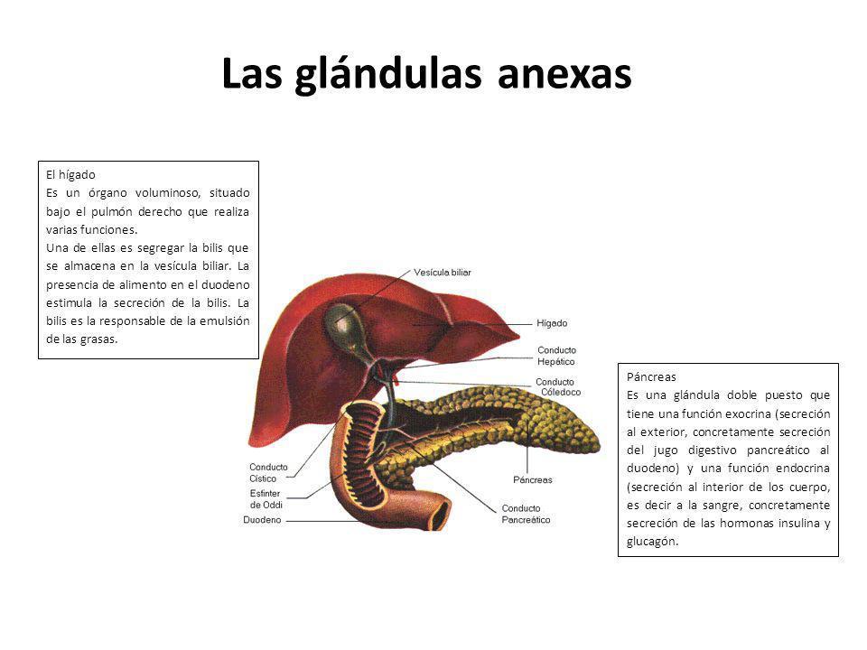 Las glándulas anexas El hígado