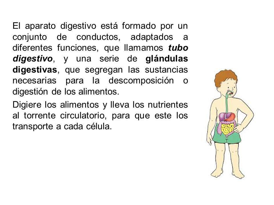 El aparato digestivo está formado por un conjunto de conductos, adaptados a diferentes funciones, que llamamos tubo digestivo, y una serie de glándulas digestivas, que segregan las sustancias necesarias para la descomposición o digestión de los alimentos.