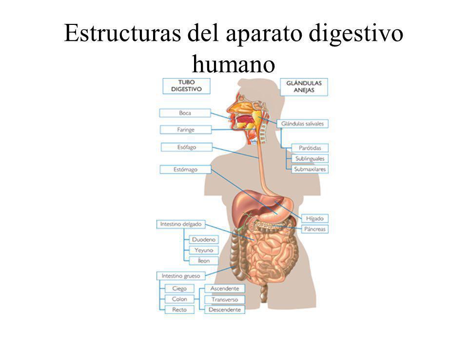 Estructuras del aparato digestivo humano